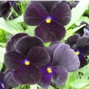 Amor-perfeito - Viola F1 Vênus - Black