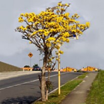 Ipê-amarelo-do-cerrado