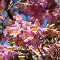 Ipê-rosa-bálsamo