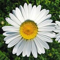 Margarida Gigante Branca (Ref 414)