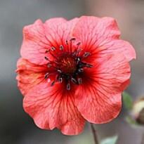 Cinco Folhas (Potentilla nepalensis) (Ref 439)