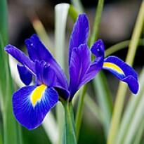 "Íris Hollandica ""Blue Magic"""