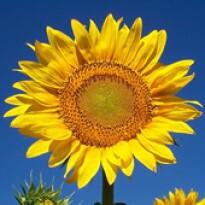 Girassol de Jardim Amarelo Anão (Helianthus annuus)