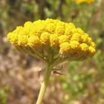 Agerato Amarelo - 1000 sementes (Ref 700)