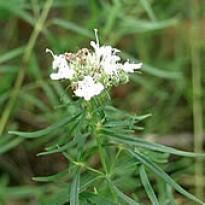 Estragão-russo, Erva-de-dragão Artemisia dracunculus