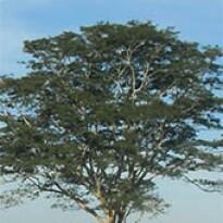 Albízia (Albizia polycephala) - 10 g
