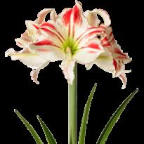 Amarílis Amorice