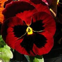 Amor-perfeito Gigante Suíço Vermelho (Ref 319)