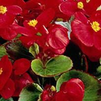 Begônia Ambassador Scarlet - 1000 sementes