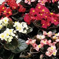 Begônia Senator Mix (folhas Bronzeadas) - 1000 sementes Peletizadas