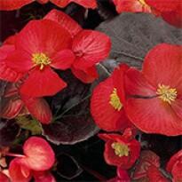 Begônia Senator Scarlet (folhas Bronzeadas) - 1000 sementes Peletizadas