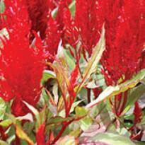 Celosia Plumosa Century Red - 1000 sementes