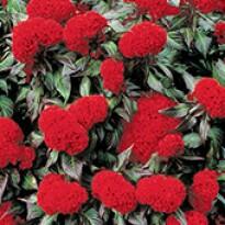 Celosia Cristata Prestige Scarlet - 1000 sementes