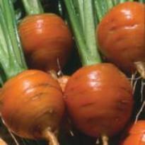 Cenoura Redonda de Nice