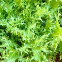 Chicória Crespa - Endivia (Ref 100)