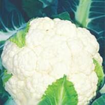 Couve-Flor Piracicaba Precoce (Verão) (Ref 116)