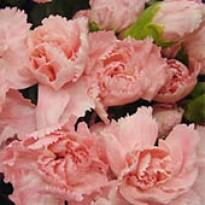 "Cravo Rosa  ""Chabaud"" Gigante Dobrada Dianthus caryophyllus"