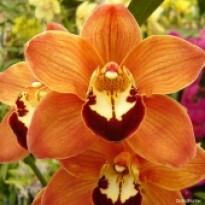 Orquídea - Cymbidium Salmão