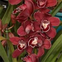Orquídea - Cymbidium Vinho