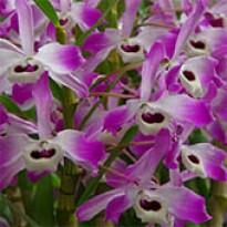 Orquídea Dendrobium Nobile Rosa