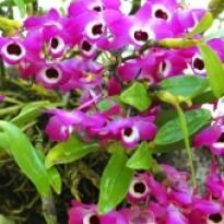 Orquídea Dendrobium Nobile Roxa
