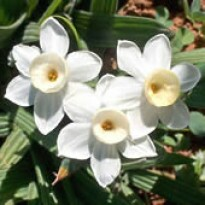 Narciso Paperwhite