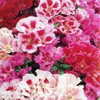Flor-de-Setim - Godétia - Feltrin