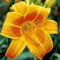 Hemerocallis - Red Shadow