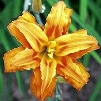 Hemerocallis - Flore Pleno