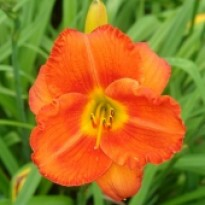 Hemerocallis - Old Tangier