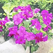 Impatiens Carnival Lilac - Maria-sem-Vergonha - 1000 sementes