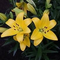 Lírio Amarelo - Dazzle (2 unidades)