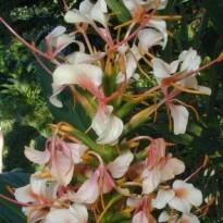Lírio-do-brejo 'Salmão' (Hedychium) - 1 Rizoma
