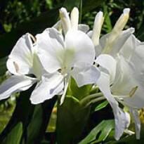 Lírio-do-brejo 'Branco' (Hedychium coronarium) - 1 Rizoma