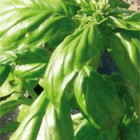 Manjericão Gennaro de Menta (Ocimum basilicum)