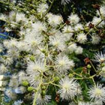 Maricá (Mimosa bimucronata) - 10 g