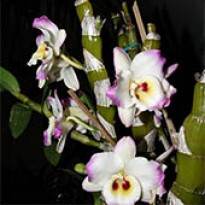 Orquídea Dendrobium Nobile Amarela