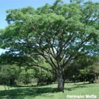 Orelha-de-macaco - Timbaúva - Timburi 2g (Ref 787)