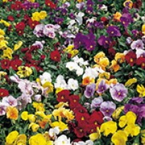 Amor-perfeito - Pansy F1 Crown - Mix - 1000 sementes
