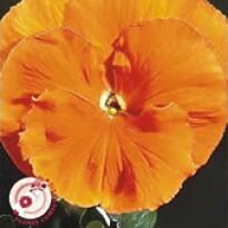 Amor-perfeito Gigante Suíço Laranja (Ref 312)