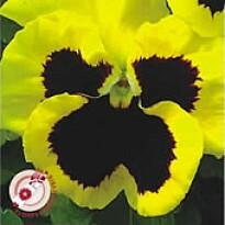 Amor-perfeito Gigante Suíço Amarelo - Ref (314)