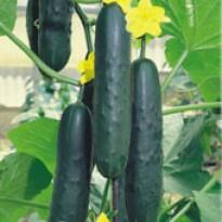 Pepino Híbrido Salada Sagro Sais (Ref 202)