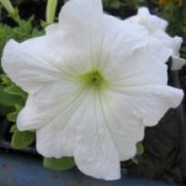 Petúnia F1 Grandiflora Falcon - White - 1000 sementes - Peletizada