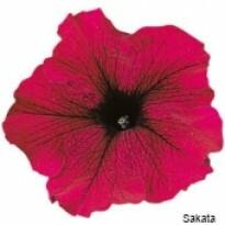 Petúnia F1 Grandiflora Falcon - Burgundy - 1000 sementes - Peletizada