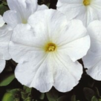 Petúnia F1 Multiflora Merlin - White - 1000 sementes