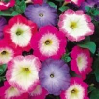 Petúnia F1 Multiflora Merlin - Morn Mix - 1000 sementes