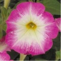 Petúnia F1 Multiflora Merlin - Morn Pink