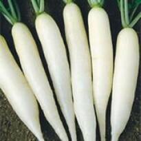 Rabanete Branco Comprido (Ref 224)
