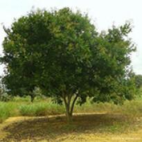 Saboeiro - Sabão de Soldado (Sapindus saponaria) - 10 g