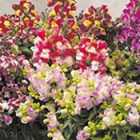 Boca-de-Leão Anã - Antirrhinum F1 Floral Showers Bicolor Mix - 1000 sementes